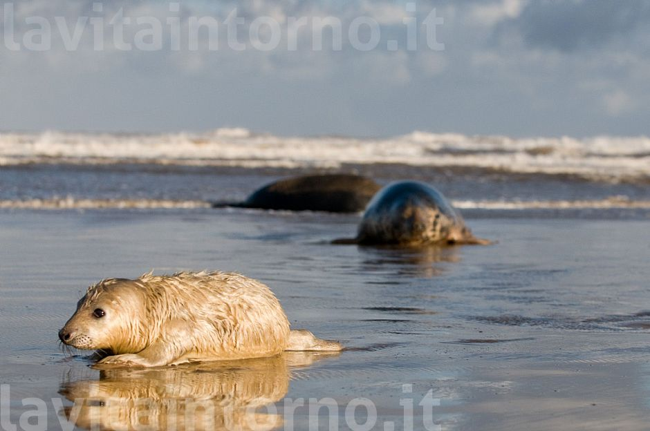 Gray seal: mother and pup #3