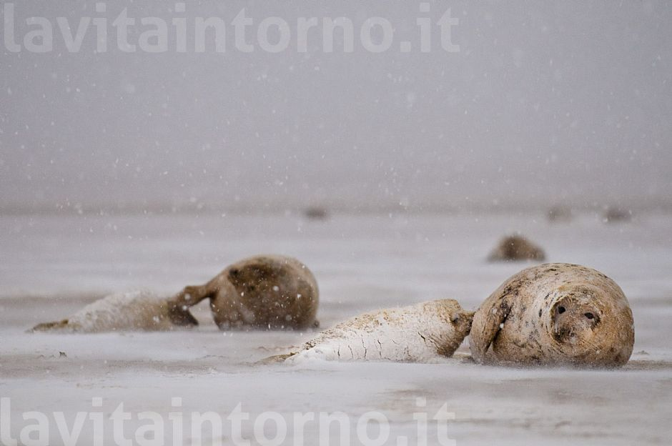 Gray seals: snowing on mother and pup